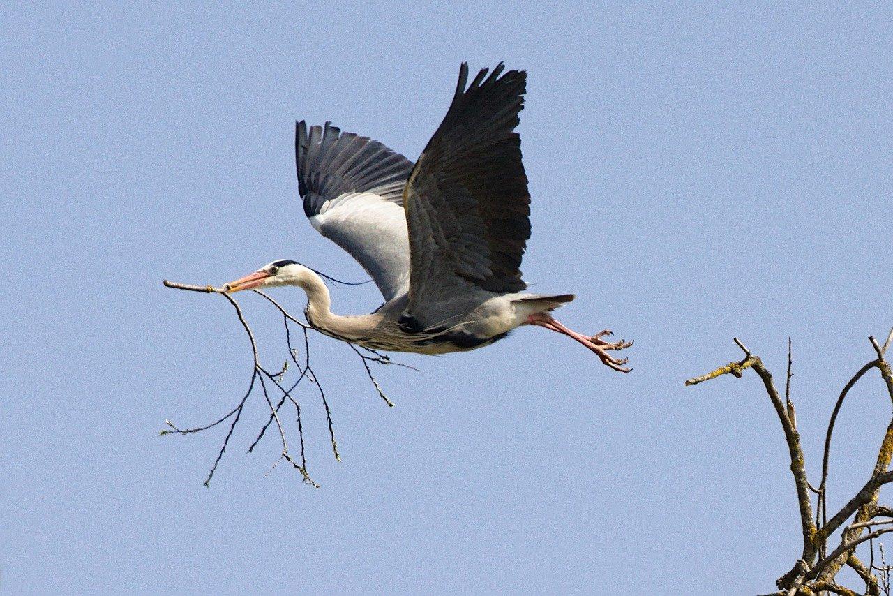 grey heron, branch, flying